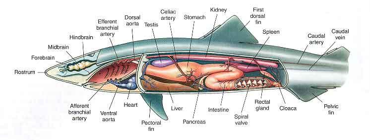 Shark Digestion Diagram Diy Wiring Diagrams